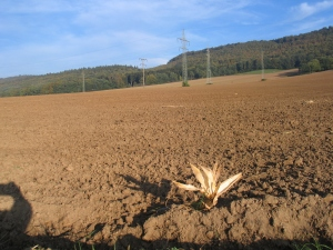 Felder mit einjährigen Ackerfrüchten sehen mindestens 2 x im Jahr so aus
