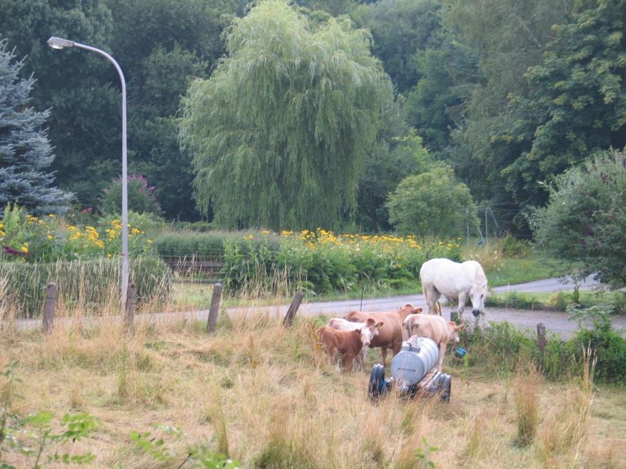 Pferd,frei, Kühe, Weide, hell, nah,9.jpg
