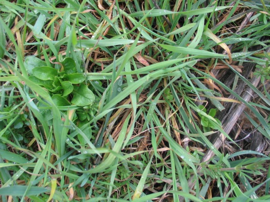 Feldsalat im Gras am Testbeet am Ackerrand in Deckbergen. Unglaublich! Mitten im Gras hatte ich ihn nicht erwartet. Bestimmt lag es daran, dass der Landwirt 2018 zum ersten Mal einen ungespritzen Blühstreifen angelegt hat (anlegen musste?) Die Aufnahme habe ich im April 2019 gemacht. Mal sehen wann und wo er in diesem Winter auftaucht.