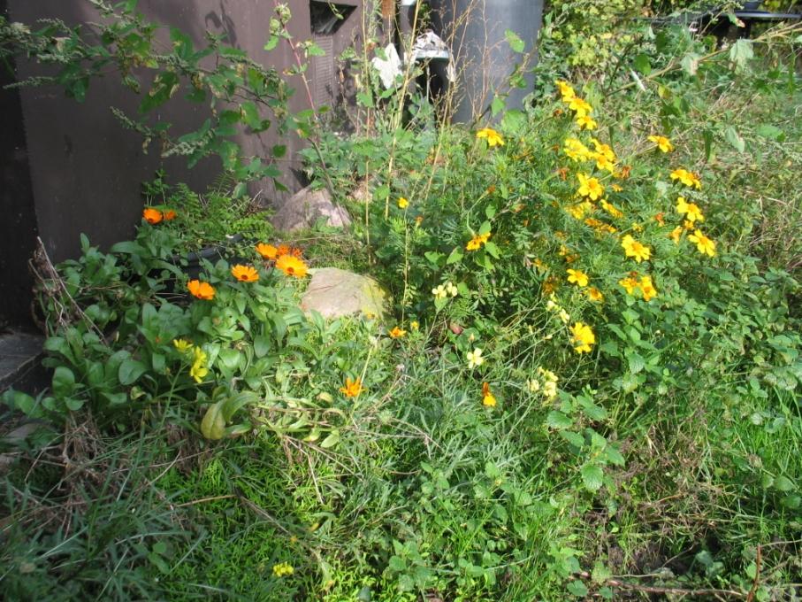 Rucola,Ringelblume und Tagetes
