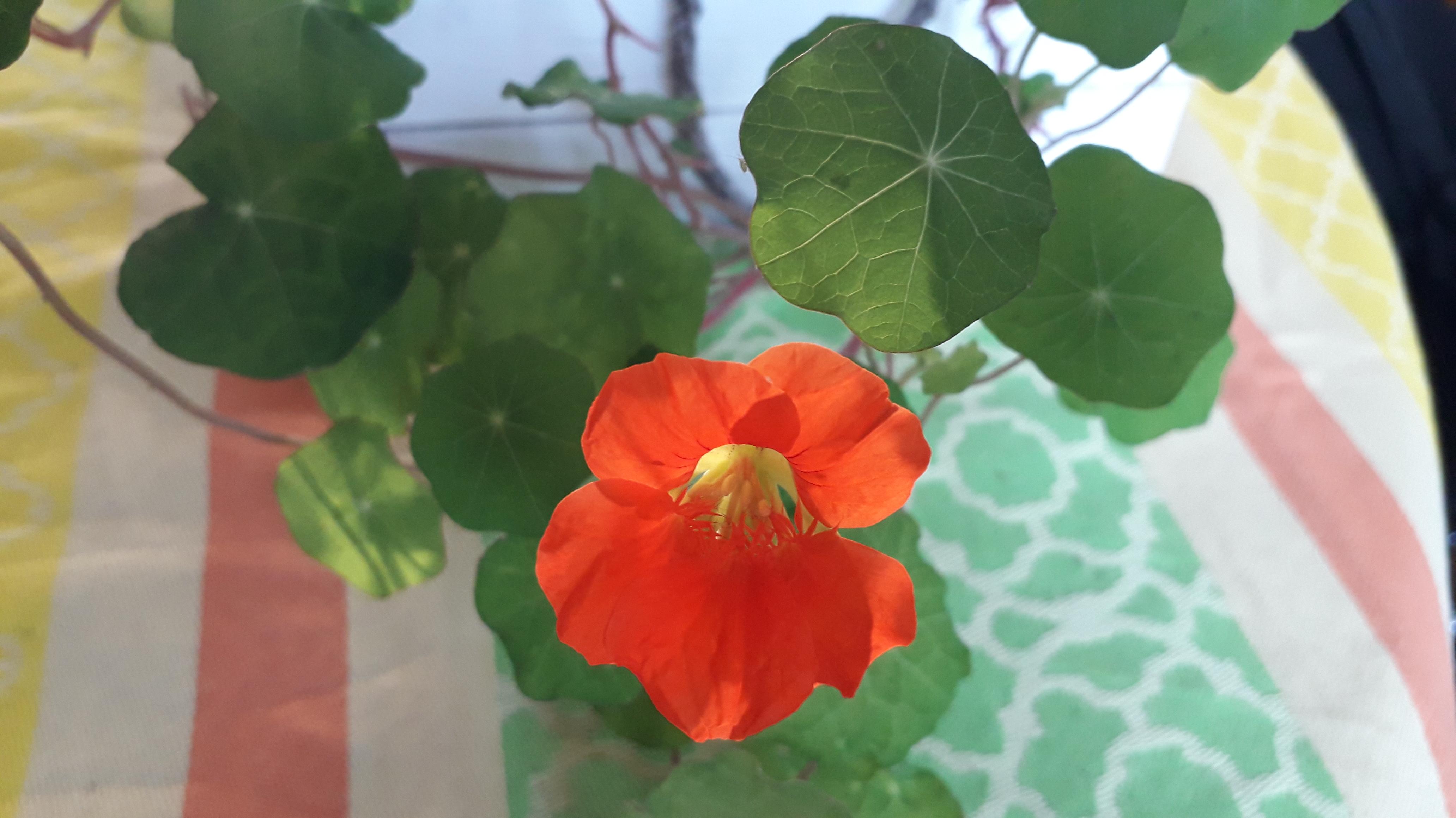 Die erste Kapuzinerkresseblüte 2020